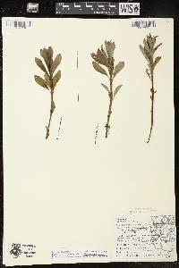 Decodon verticillatus var. verticillatus image