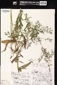 Symphyotrichum lanceolatum X S. lateriflourm image