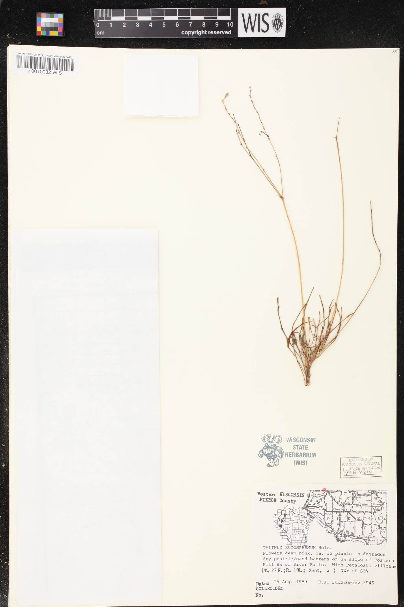 Phemeranthus rugospermus image