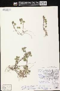 Glechoma hederacea var. micrantha image
