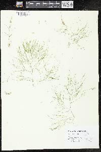 Potamogeton confervoides image