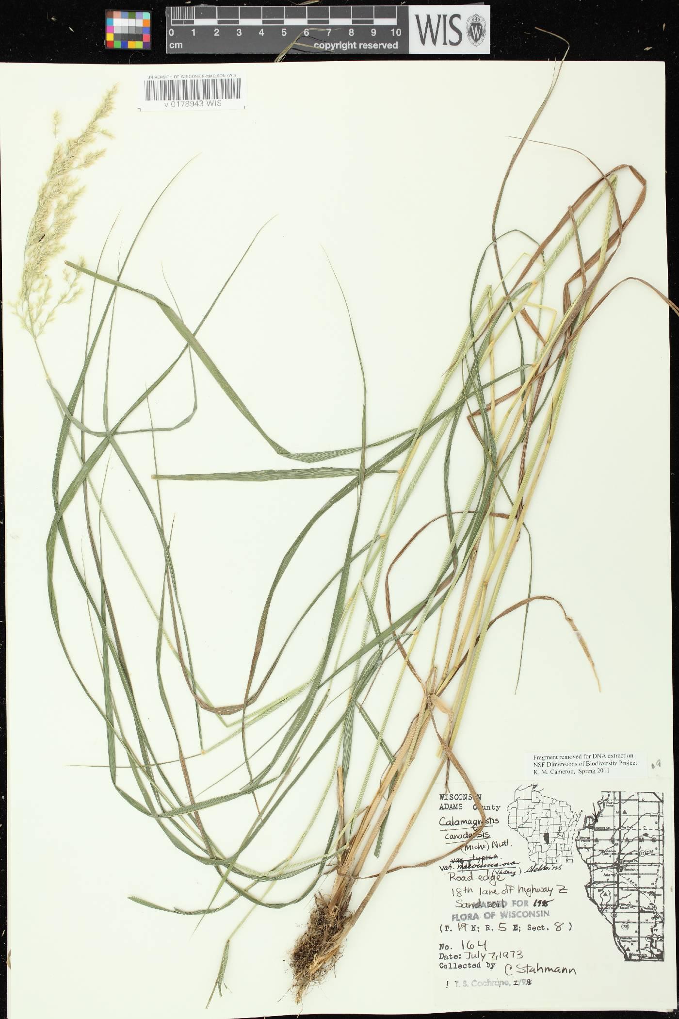Calamagrostis canadensis var. macouniana image