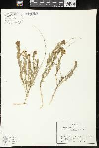 Comandra umbellata subsp. umbellata image