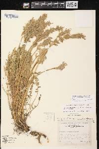 Oxytropis campestris var. chartacea image