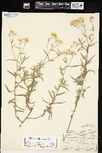 Achillea ptarmica image