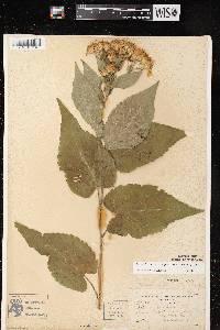 Eurybia furcata image