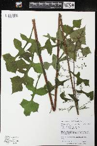 Image of Lactuca floridana