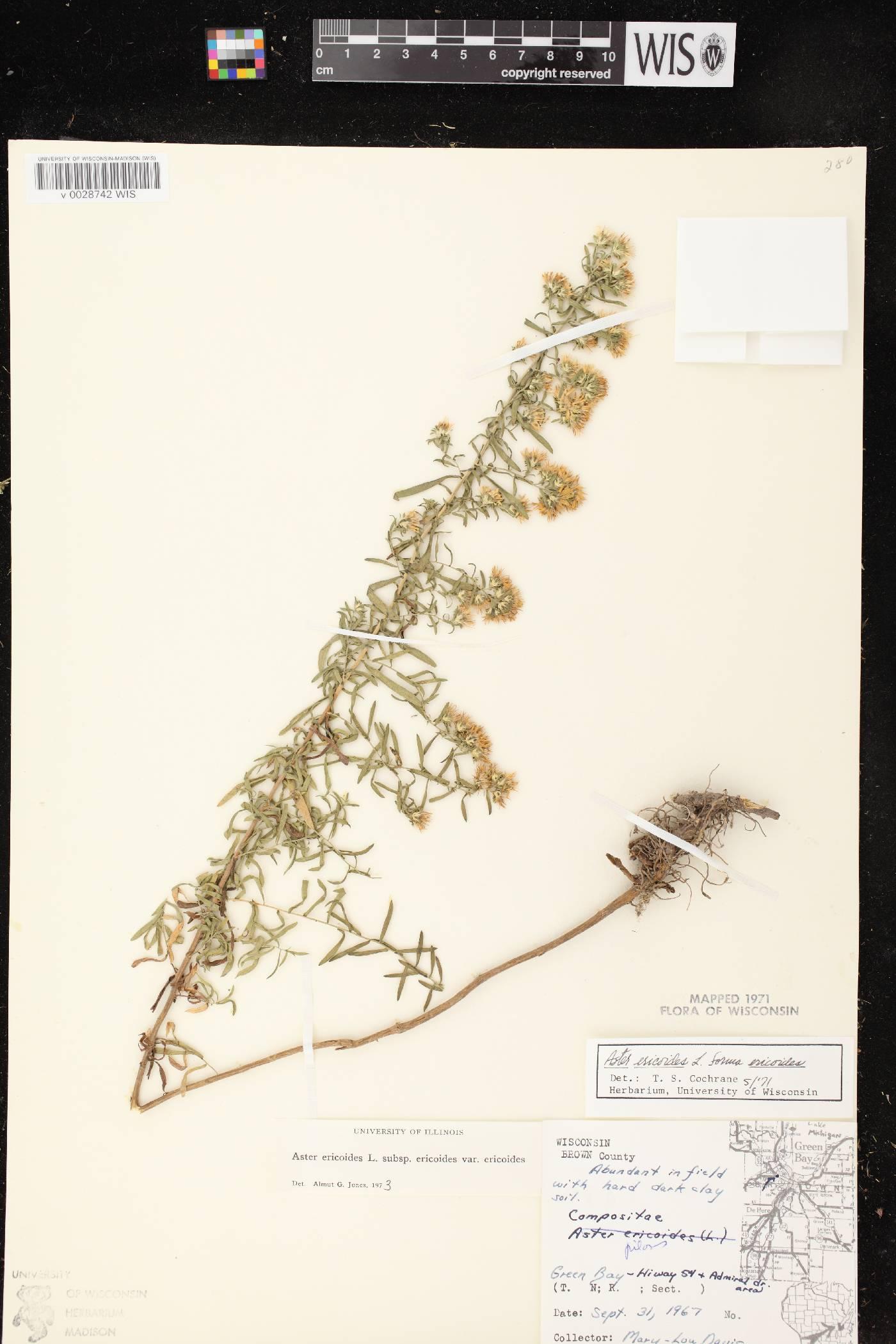 Symphyotrichum ericoides image