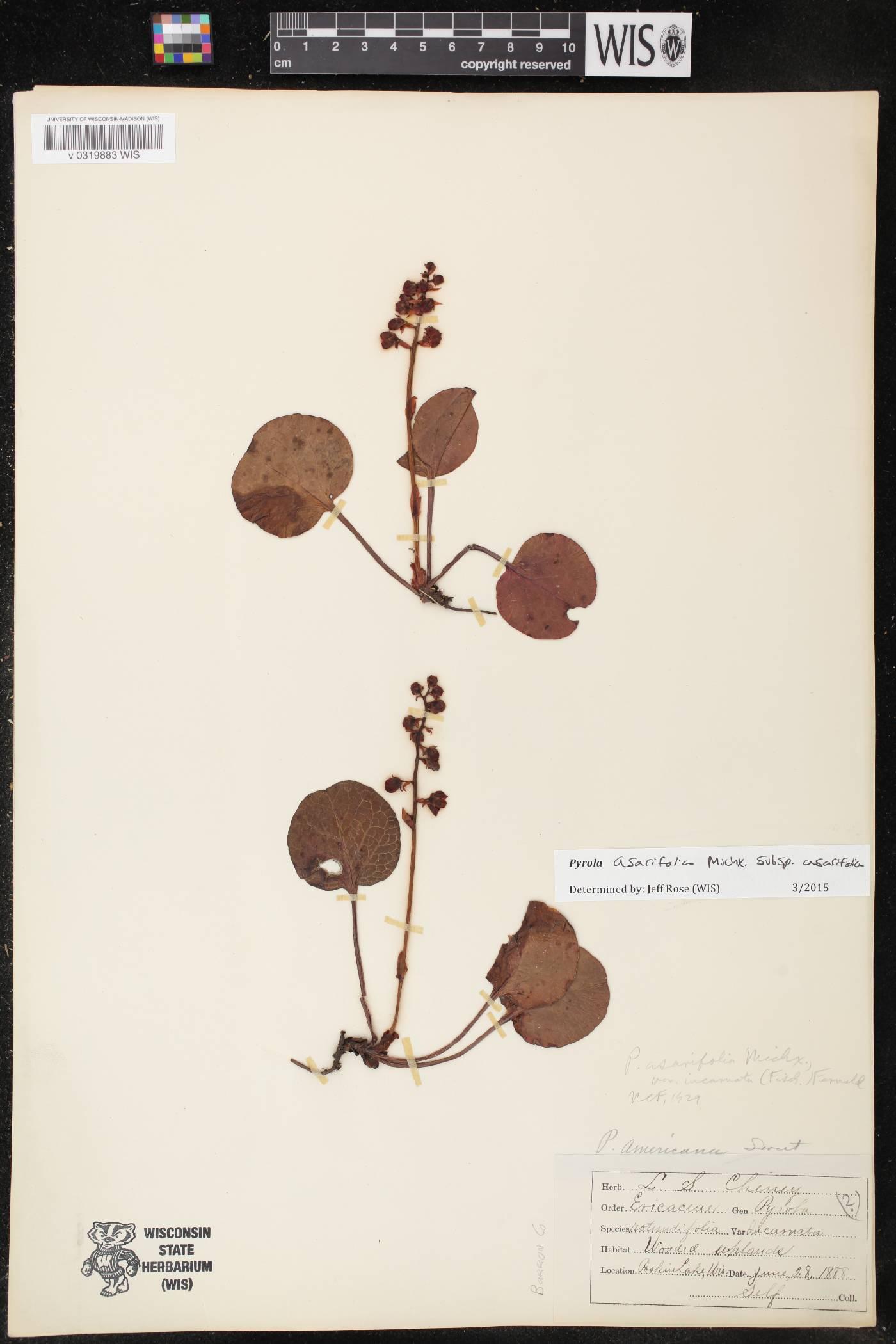 Pyrola asarifolia subsp. asarifolia image