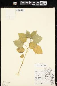 Physalis heterophylla var. heterophylla image