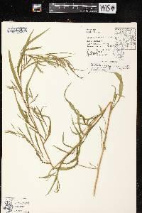 Symphyotrichum boreale X S. lanceolatum var. lanceolatum image