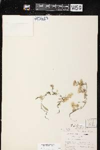 Pseudognaphalium saxicola image