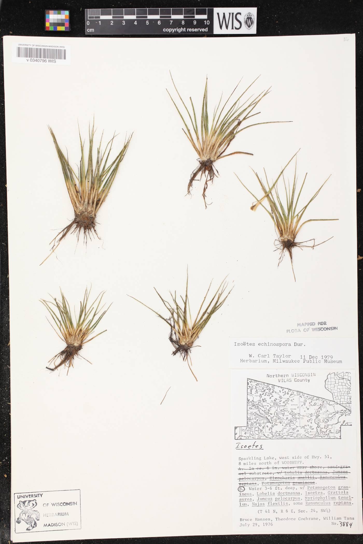 Isoëtaceae image