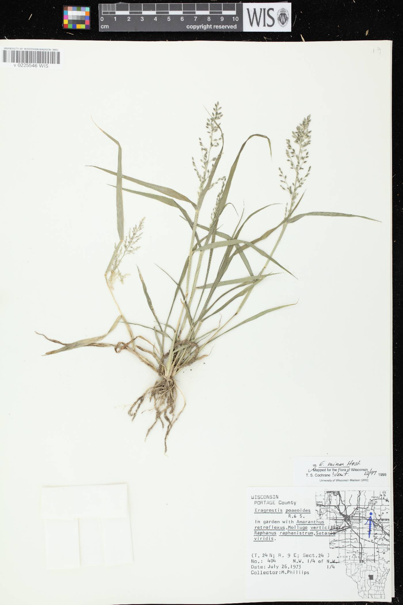 Eragrostis minor image
