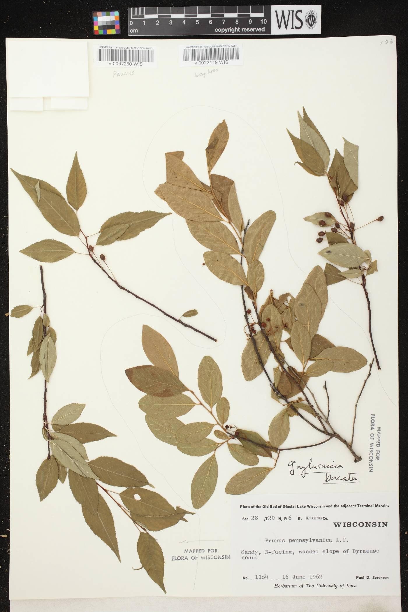 Prunus pensylvanica image