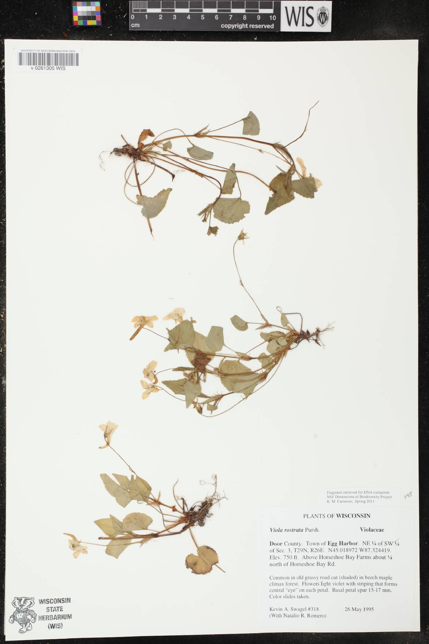 Viola rostrata image
