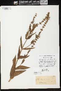 Stachys palustris image