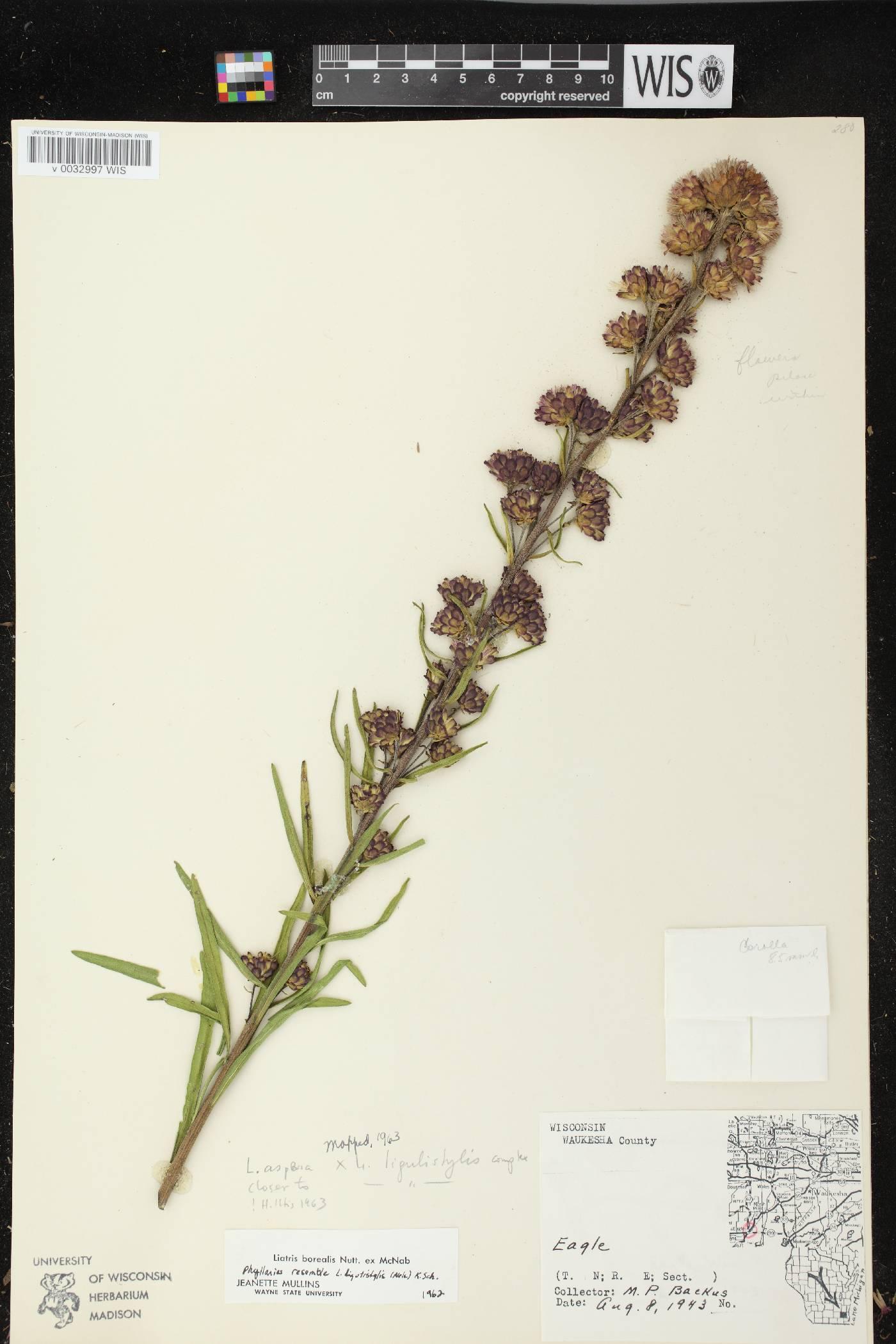 Liatris aspera X L. ligulistylis image
