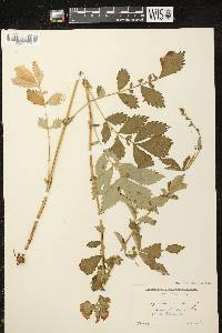 Agrimonia striata image