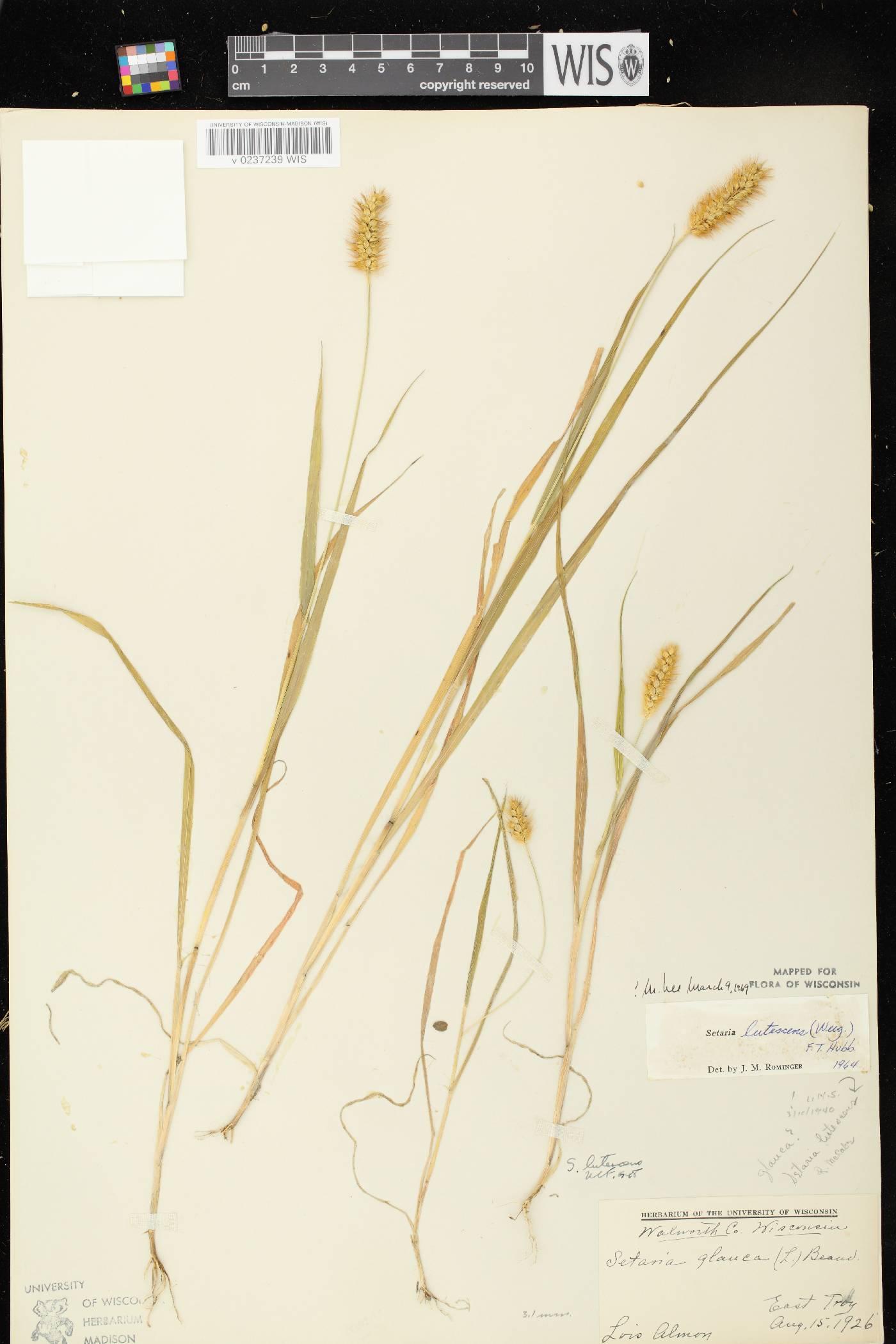 Setaria pumila subsp. pumila image