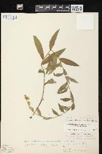 Hieracium x fassettii image