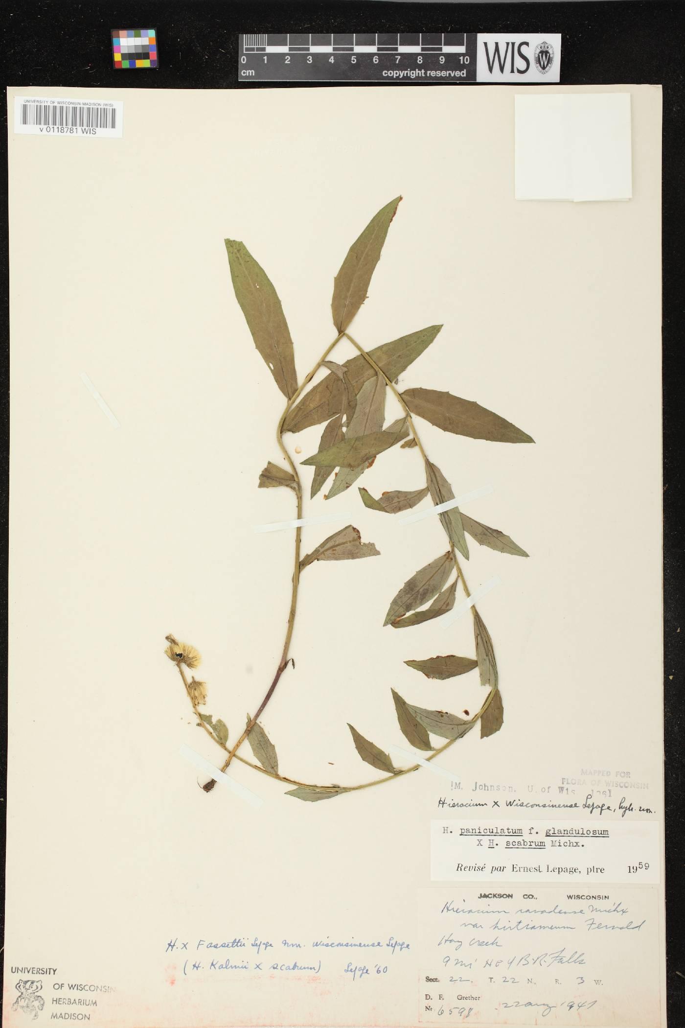 Hieracium x fassettii var. wisconsinense image