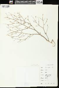 Tsuga canadensis image
