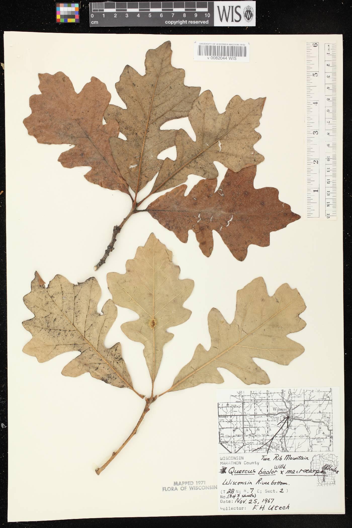 Quercus x schuettei image