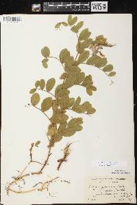 Lathyrus japonicus var. pellitus image