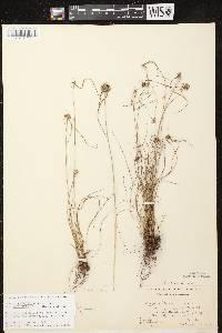 Cyperus lupulinus subsp. macilentus image