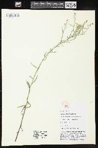 Image of Euthamia caroliniana