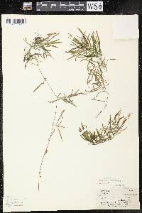 Potamogeton obtusifolius image
