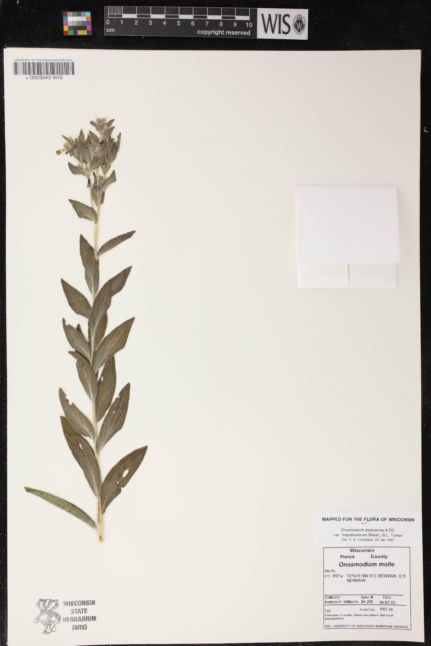 Lithospermum parviflorum image
