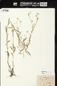Erigeron strigosus image