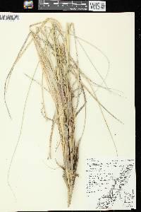 Ammophila breviligulata image