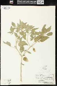 Image of Physalis