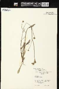 Crepis tectorum image