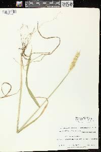Triticum aestivum image