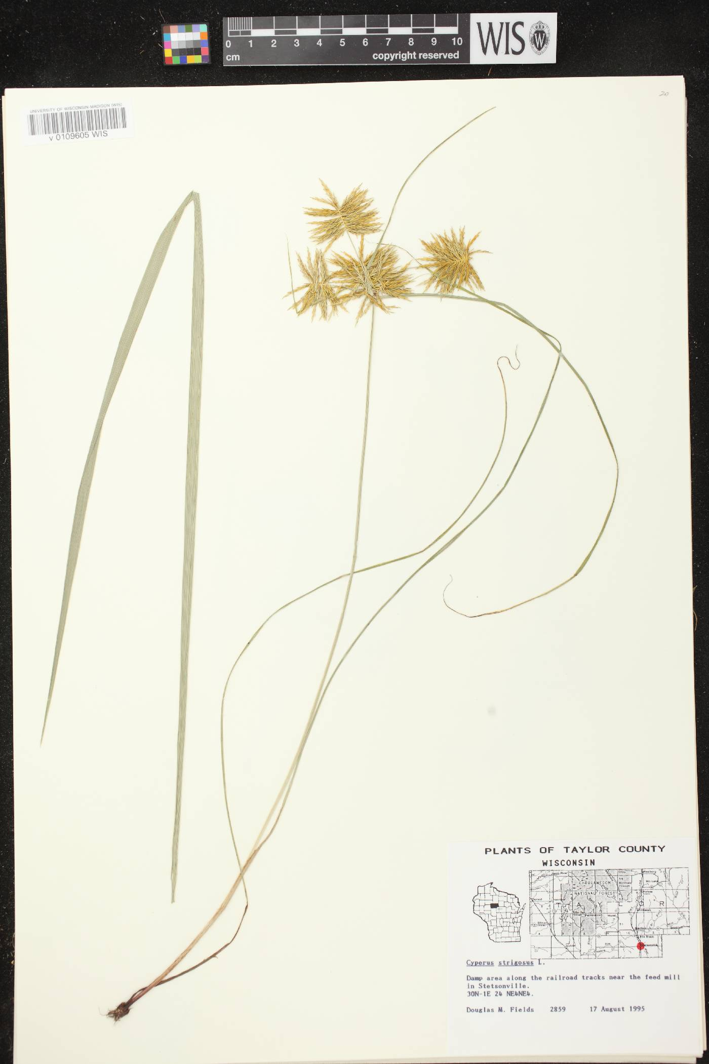 Cyperus strigosus image