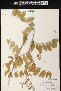 Lathyrus venosus image