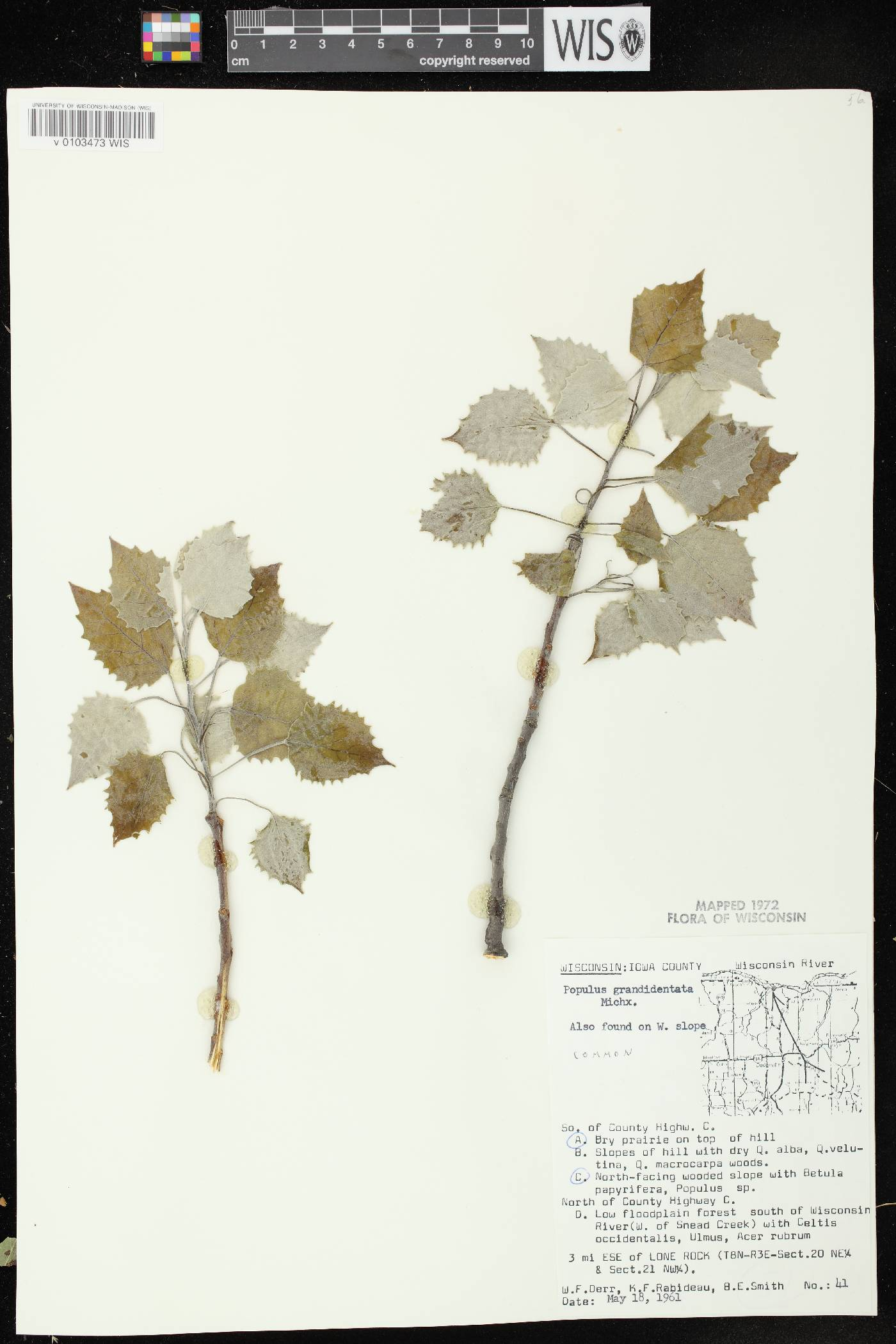 Populus grandidentata image