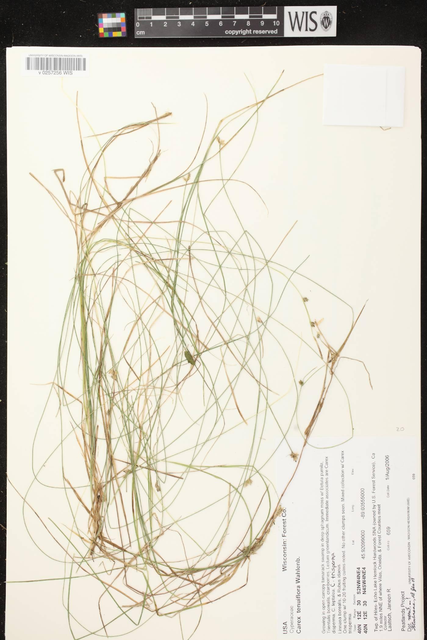 Carex tenuiflora image