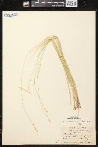 Carex brunnescens subsp. sphaerostachya image