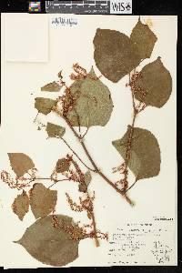 Fallopia japonica var. japonica image