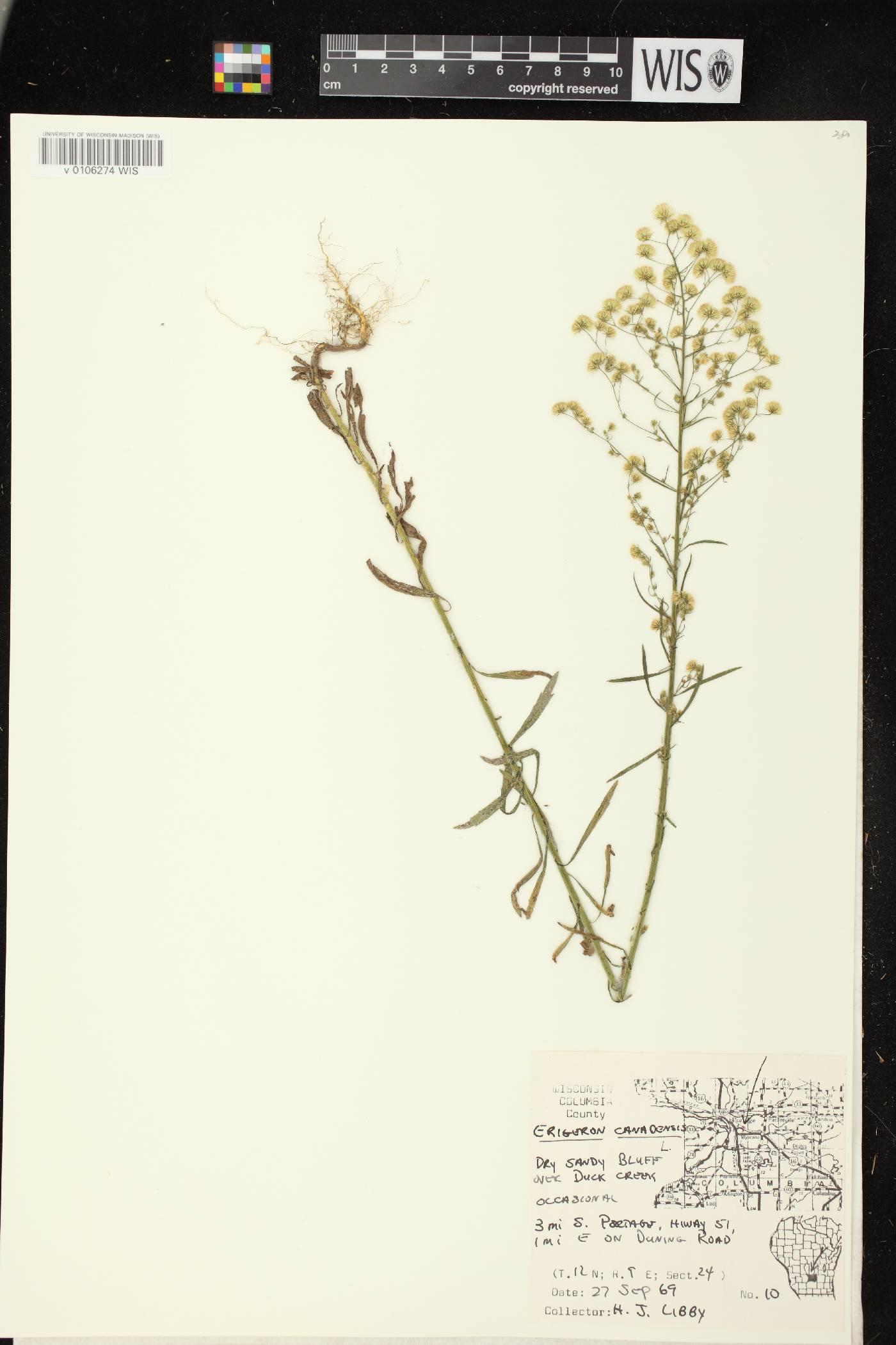 Conyza canadensis image