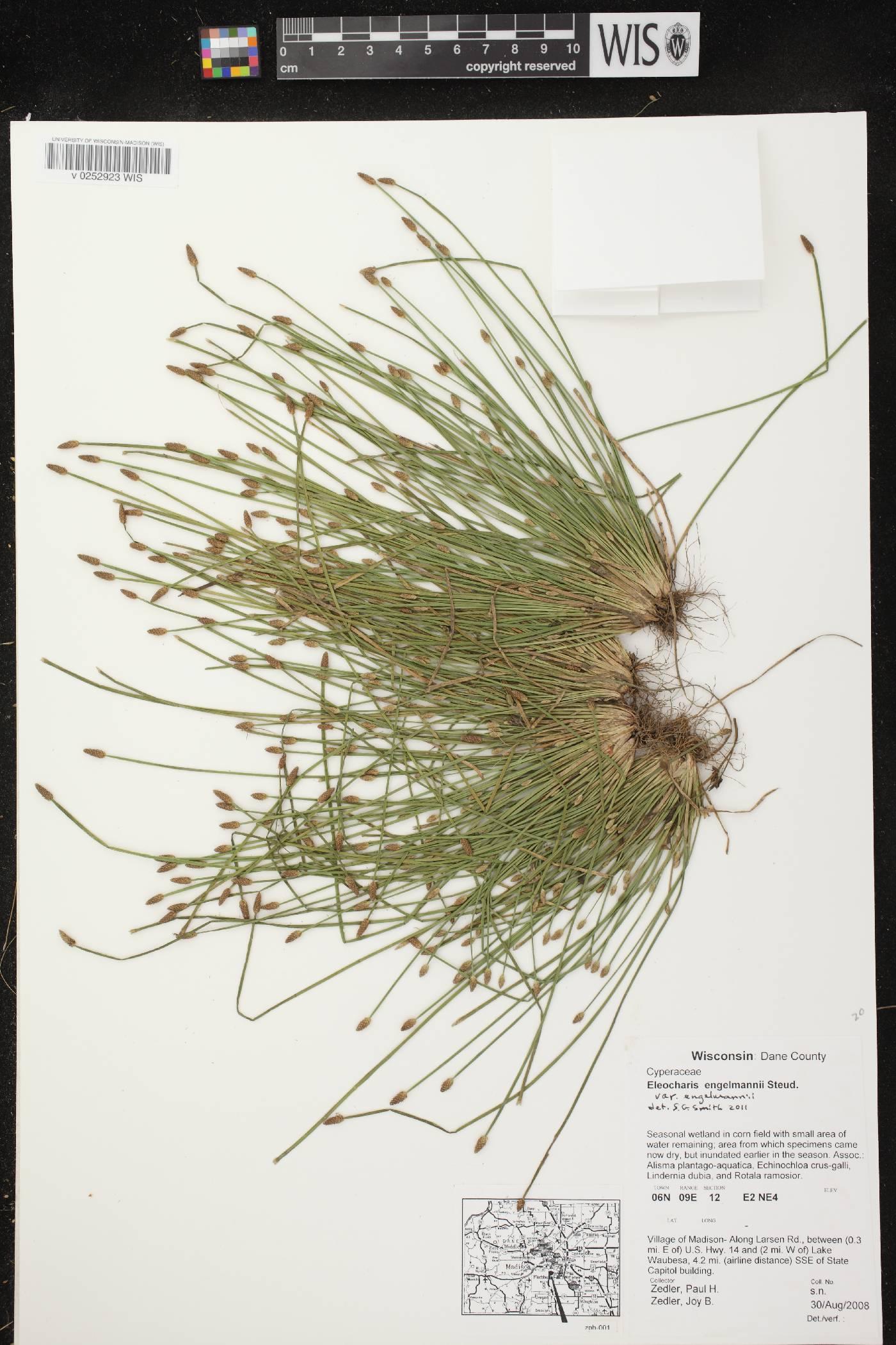 Eleocharis engelmannii var. engelmannii image