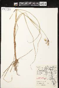 Eriophorum angustifolium subsp. angustifolium image