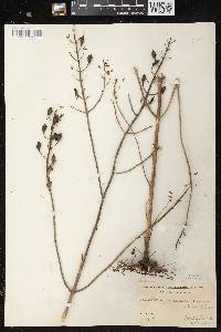 Aureolaria pedicularia var. ambigens image