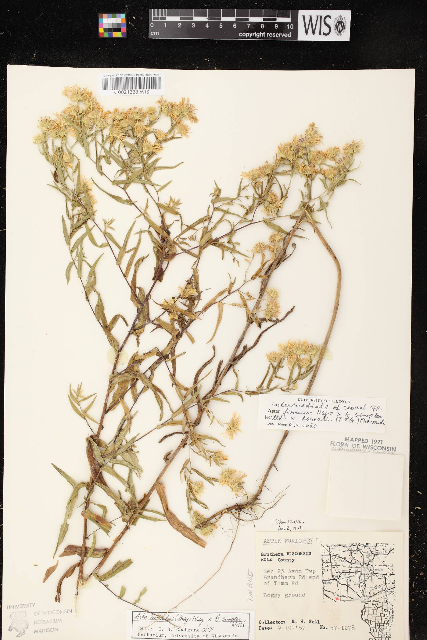 Symphyotrichum firmum X S. lanceolatum var. lanceolatum image