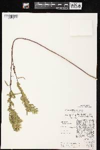 Image of Symphyotrichum lanceolatum var. interior